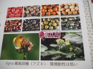「Vigna属栽培種(アズキ) 環境耐性は低い」、と書いてある展示