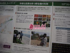 海辺で群生している野生Vignaの様子が展示されたポスター