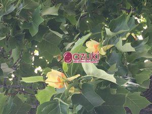 道南農業試験場のシンボルツリーの「ユリノキ」の花が咲いている時期にお邪魔しました。樹齢100年以上の年輪を重ねたユリノキは道内でも珍しいそうです。