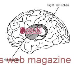 海馬は脳の中心にあります。