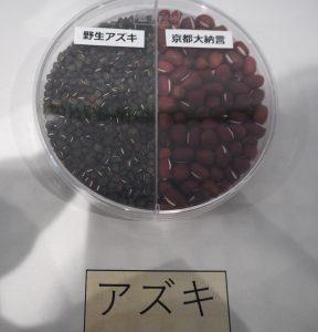 野生小豆と、大納言小豆の、粒の大きさの違いがひとめでわかる展示。左側は、小豆の直接の祖先です。これを古代人が栽培しているうちに、いまの小豆へと変化してきました。