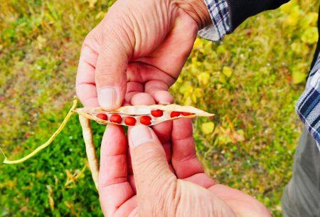 京都大納言は、最先端の工夫がつまった小豆って知ってましたか?